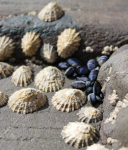 Limpets on rock
