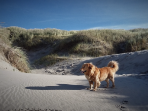 Small dog standing in sand dunes, Studland