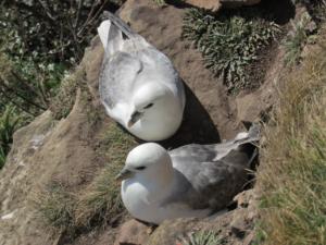 Two fulmar birds nesting on a cliff