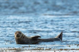 Grey seal in the sea