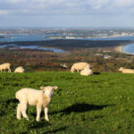 Grazing lambs with Poole Harbour behind at Ballard Down and its obelisk