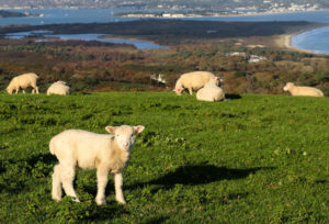 Lamb on the headland of Ballard Down with Poole Harbour in the distance