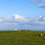 Sheep on grazing land at Ballard Down looking toward the Isle of Wight
