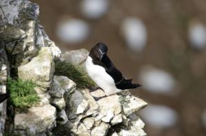 A razorbill resting on a rock