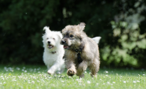 Two small dogs running in a field