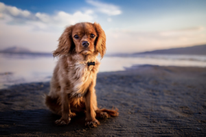 Cavalier King Charles spaniel on beach