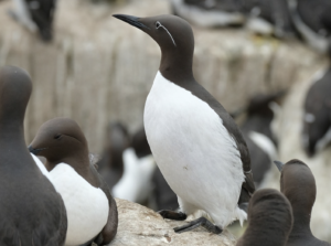 Black and white guillemots sitting on rocks