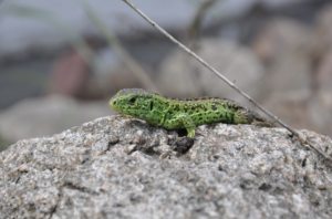 Bright green sand lizard on a stone
