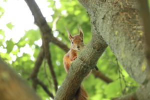Red squirrel sitting on a branch in a tree