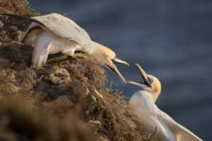 Two gannets on a cliff face