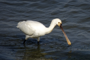 A wading spoonbill looking into the water