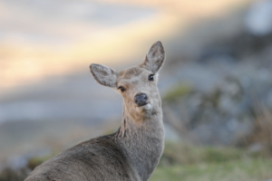 Female sika deer looking toward the camera