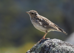 A woodlark sitting on a mossy stone