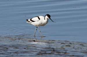 An avocet wading in some water