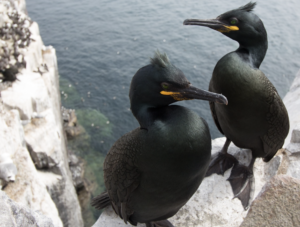 A pair of shags sitting on a rocky cliff above the sea