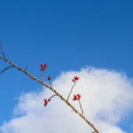 Rosehips against the sky on the walk up to the Swanage obelisk