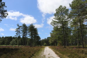Bridleway through the trees in Wareham Forest