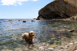 Dog in the water at Pondfield Cove, next to Worbarrow Bay