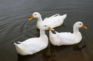 Three white ducks on the pond in Worth Matravers