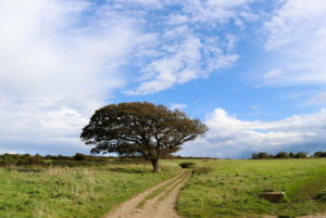 Tree by a path at Spyway in Langton Matravers
