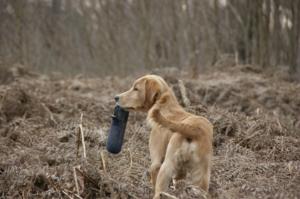 Dog retrieving dummy during sundog training, Purbeck