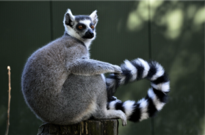 Ring-tailed lemur sitting on a wooden post
