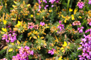 Bee in heather and gorse at Slepe Heath