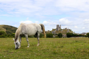 Pony grazing in front of Corfe Castle