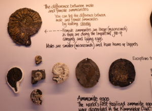 Ammonites on display at the Etches Museum in Kimmeridge