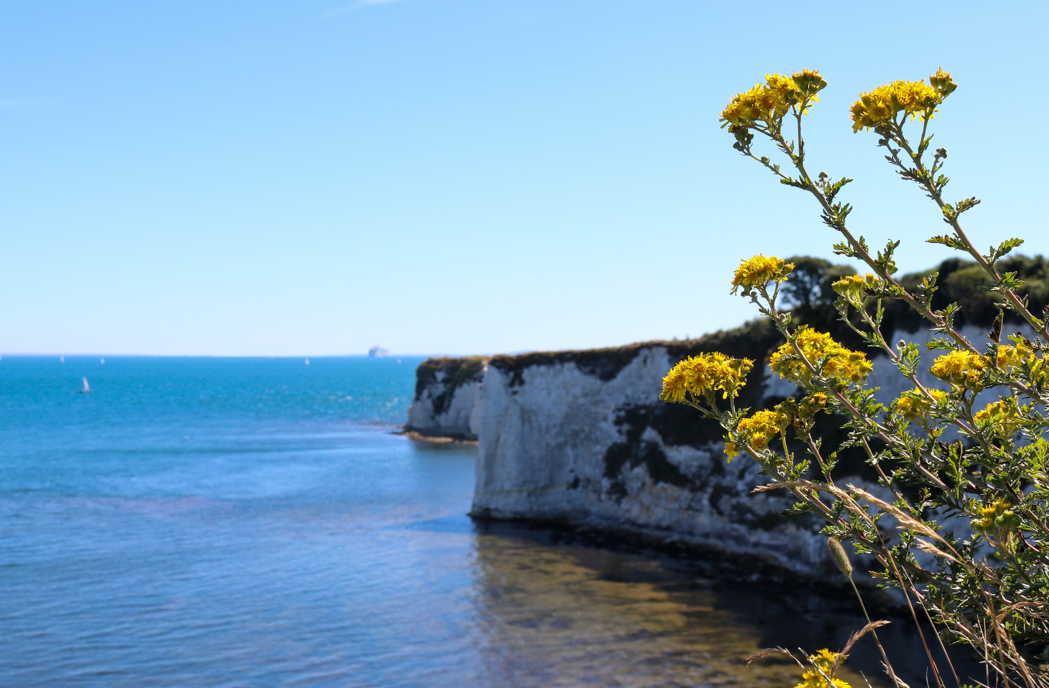 Wildflowers at Old Harry Rocks