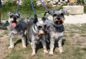 Three mini schnauzers at Corfe Castle