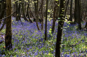 Bluebells growing amongst trees in woodland