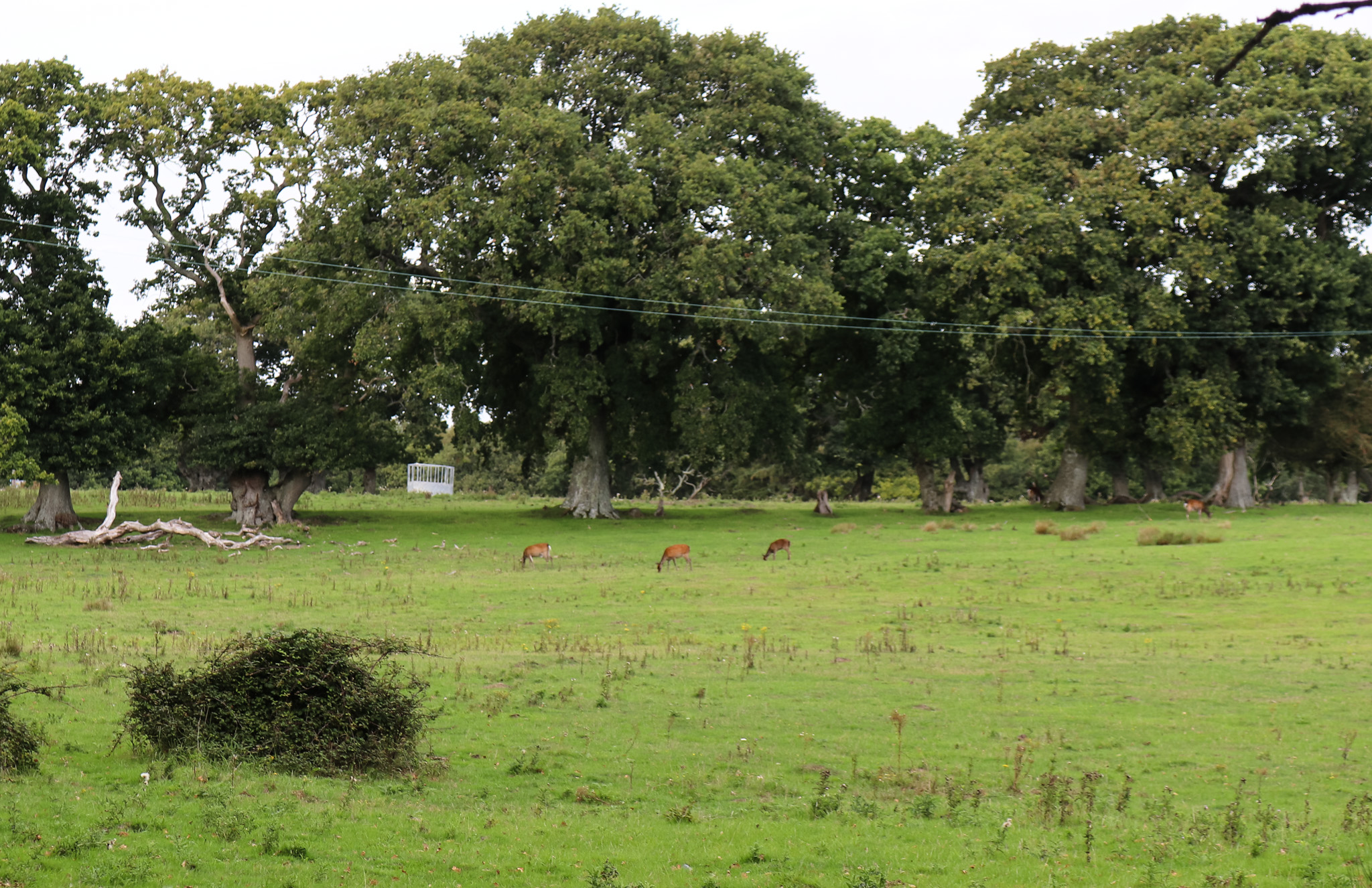 Deer in field at RSPB Arne