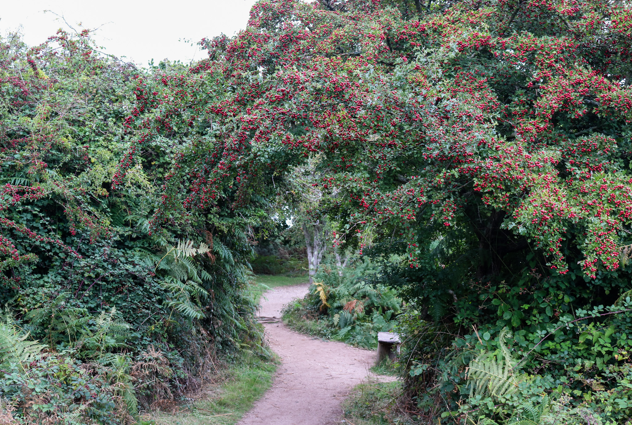 Path through rowan trees At Arne nature reserve