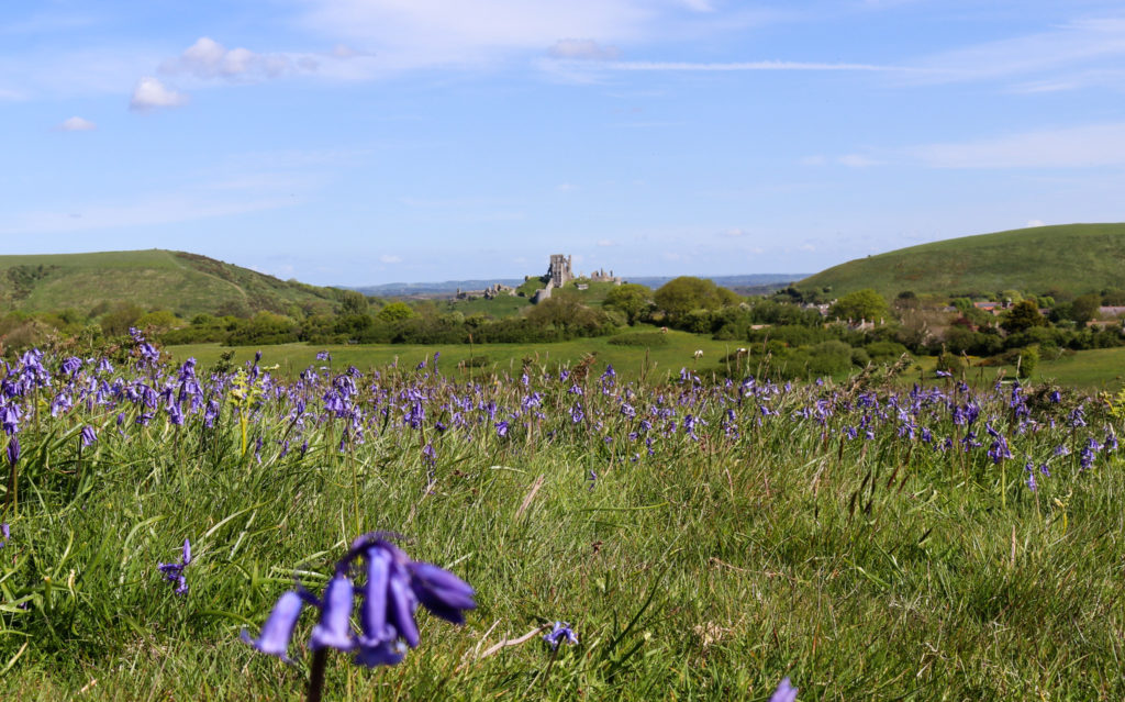 Bluebells on Corfe Common in front of Corfe Castle