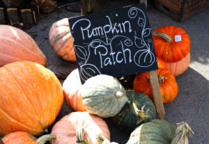 Pumpkins patch at the Square and Compass pub in Worth Matravers