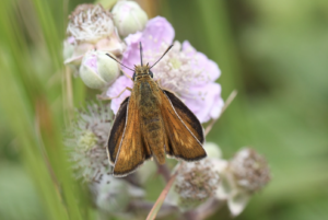 Orange Lulworth Skipper butterfly resting on a lilac flower