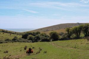 Cow sitting in field below Worth Matravers