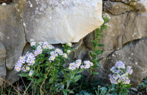 wildflowers growing in the rocks at Winspit