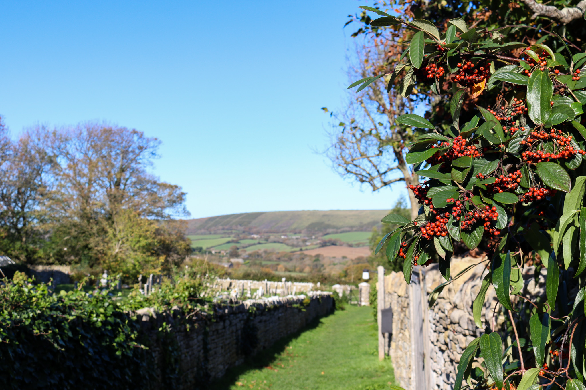 Berries growing along a walking path in Langton Matravers with view to the Purbeck Hills