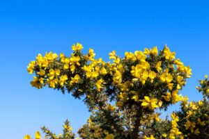 Yellow gorse against a blue sky in Studland
