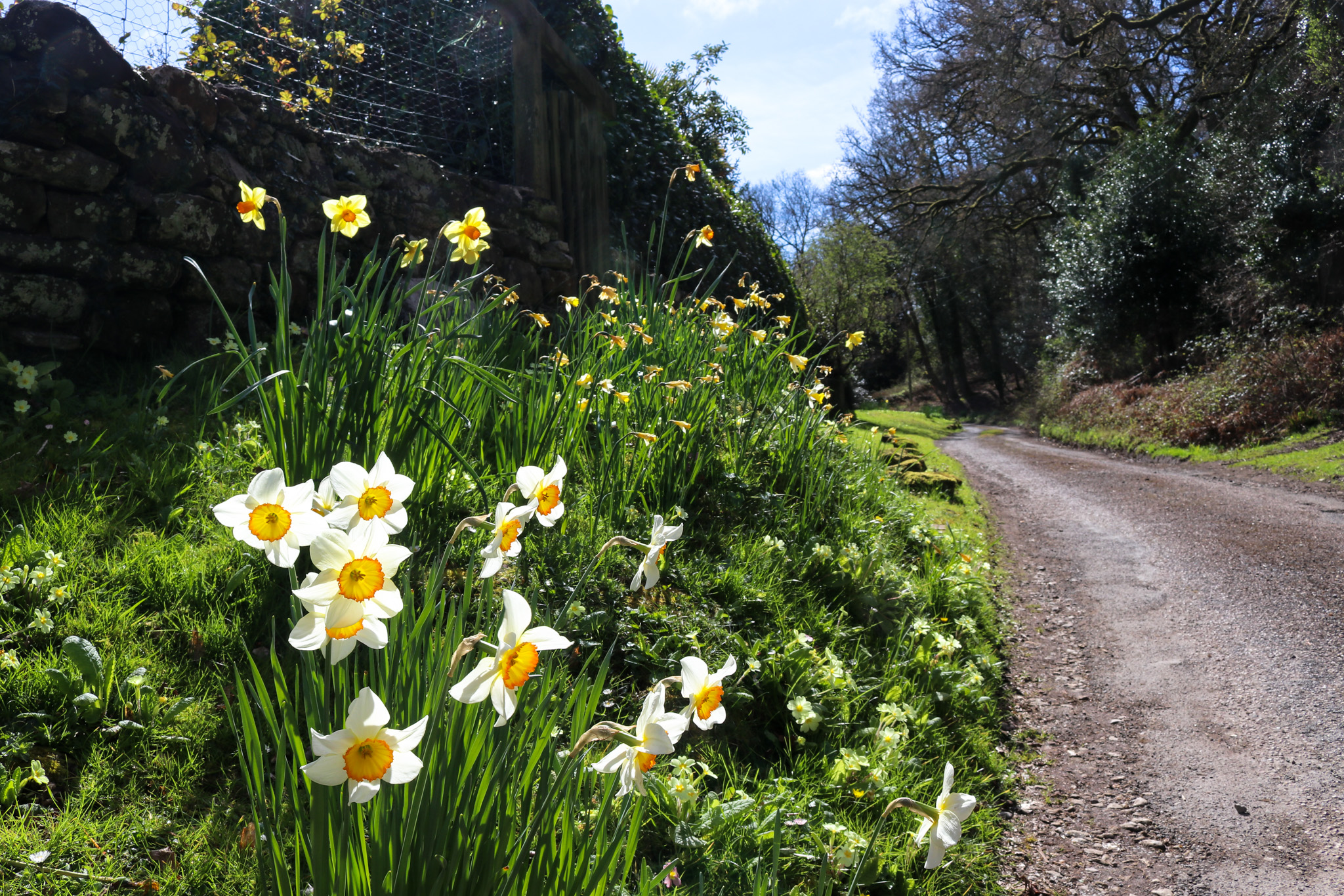 Daffodils growing on the side of the road in Arne