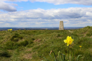 Daffodils grow by the trig point at the top of Creech Barrow hill