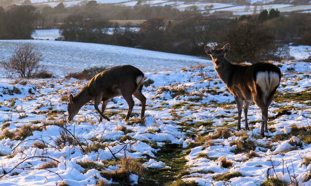 Deer grazing in the snow on Corfe Common